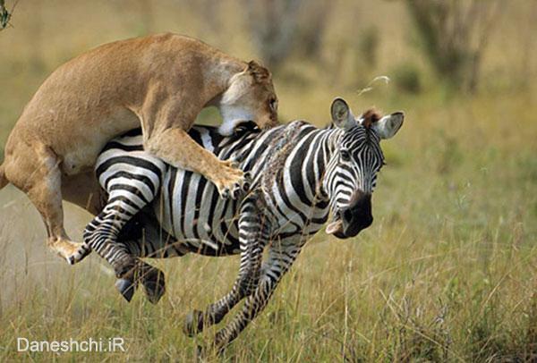 شکار گورخر توسط شیر