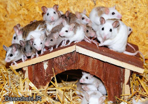 موش ها