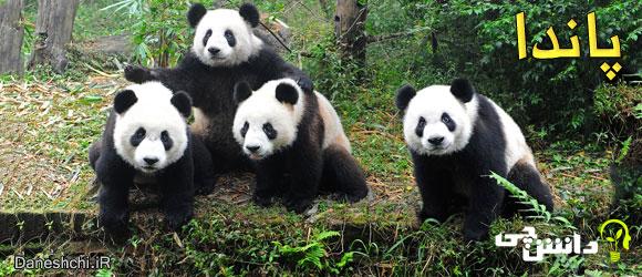 پاندا (Panda)