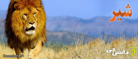 شیر (Panthera leo)