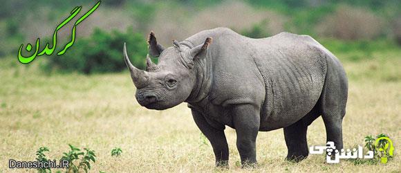 کرگدن (Rhinocerotidae) - زندگی کرگدن ها