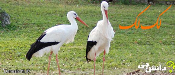 لک لک (Stork) - زندگی لک لک ها