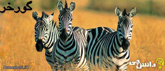 گورخر (Zebra)