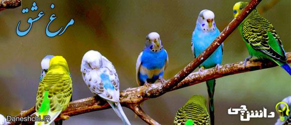 مرغ عشق (budgerigari)