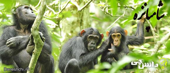 شامپانزه (chimpanzee) , زندگی شامپانزه ها
