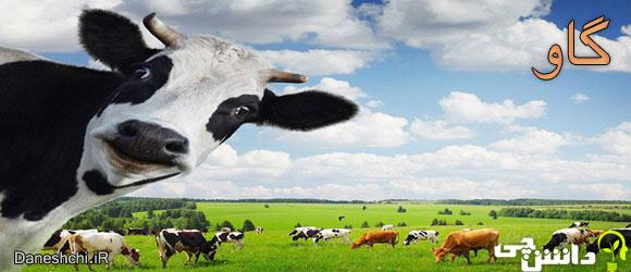 گاو (cow)