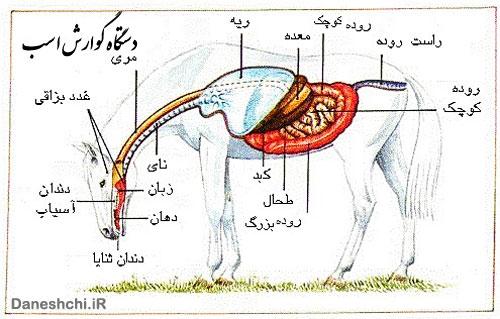 دستگاه گوارش اسب ها