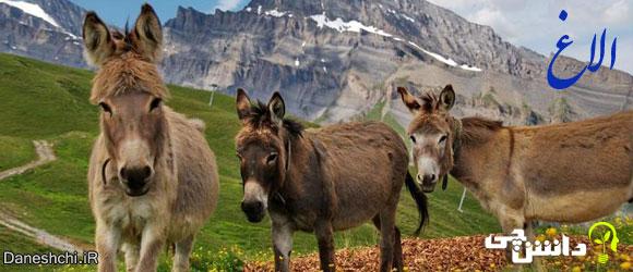 الاغ (Equus africanus asinus)، زندگی الاغ ها