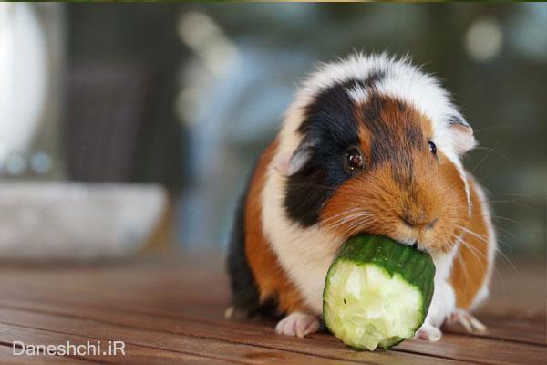 غذاخوردن خوکچه هندی