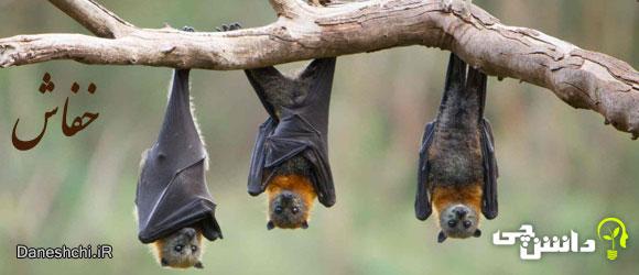 خفاش (bat) - زندگی خفاش ها