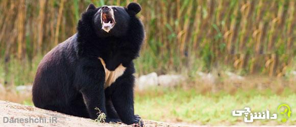 زندگی خرس سیاه ایرانی