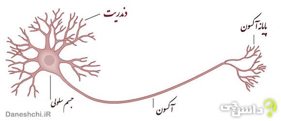 تحقیق در مورد نورون ( یاخته های عصبی ) و انواع آن