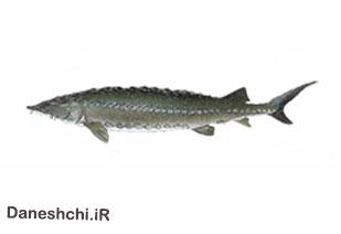 ماهی خاویاری آمور استورژن