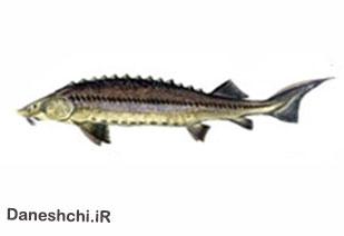 ماهی خاویاری بری