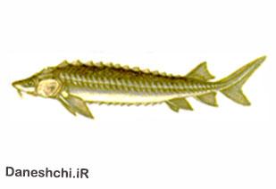 ماهی خاویاری چالباش