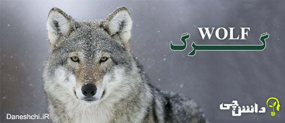 جانوران شکارچی - گرگ ها