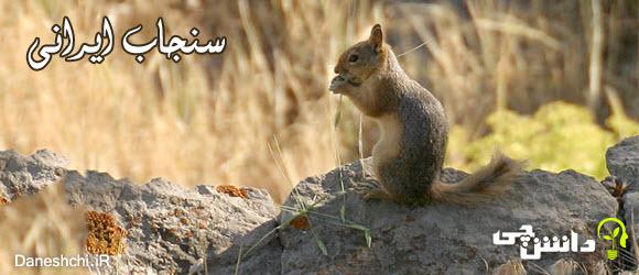 سنجاب ایرانی