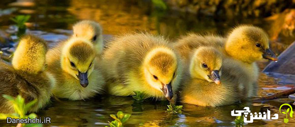 اردک (Duck) -  زندگی اردک ها
