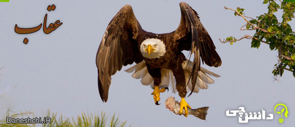 عقاب (Eagle)