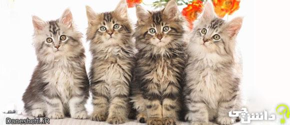 گربه (Felis silvestris catus) - زندگی گربه ها