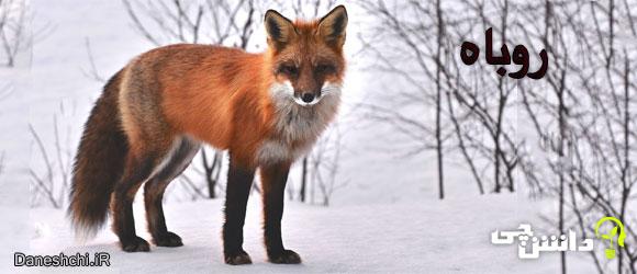روباه(Fox)