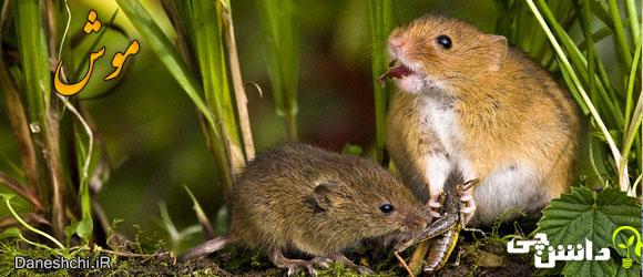 موش (Mice) - زندگی موش ها