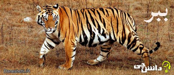 ببر (Panthera Tigris)