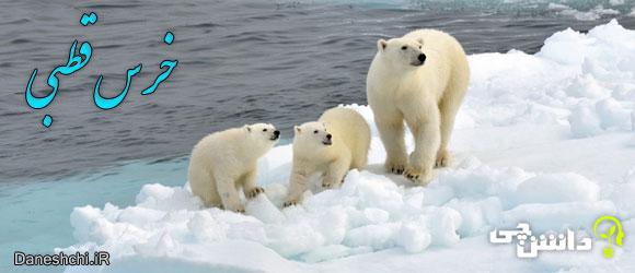 خرس قطبی (Polar bear)