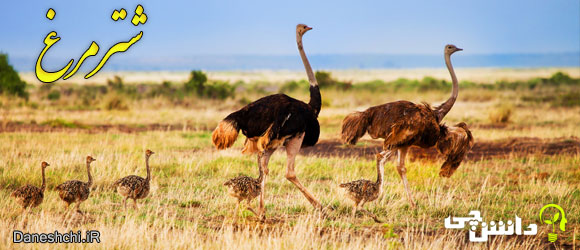 شترمرغ (Struthio camelus)