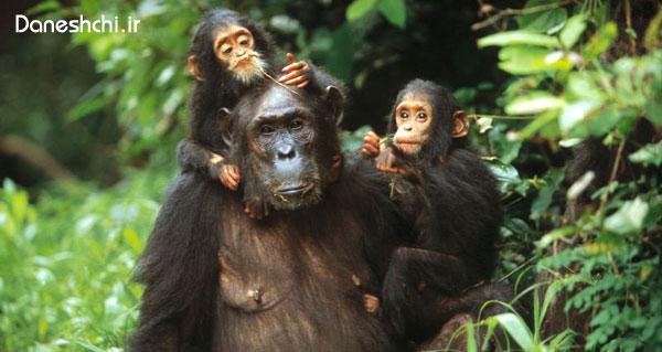 شامپانزه ها