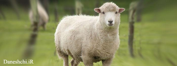نژادهای گوسفندها