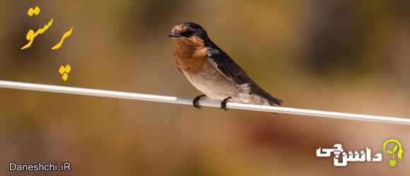 پرستو (Swallow) و زندگی آنها