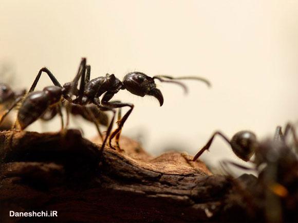 شگفتی مورچه