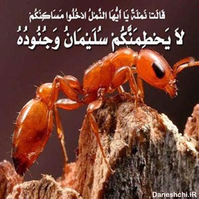 سلیمان و مورچه