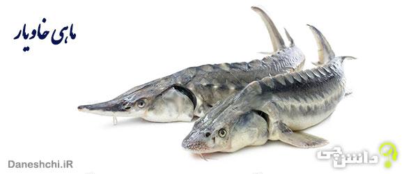 تحقیق درباره انواع ماهی های خاویاری