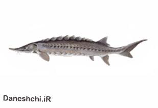 ماهی خاویاری کالوگا