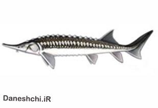 ماهی خاویاری اوزون برون