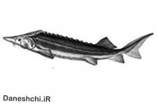 ماهی خاویاری شیپ