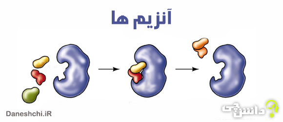 تحقیق در مورد انواع آنزیم ها ، نقش و عملکردشان