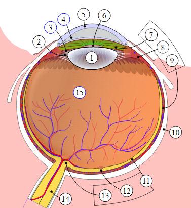 اجزای چشم